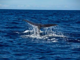Wal-Flosse schaut aus dem Wasser